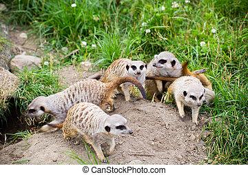 Meerkat, Suricata, suricatta also known as the suricate. Wildlife animal.