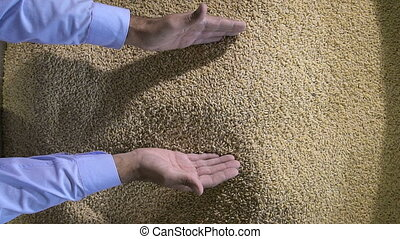 Harvest, close up of farmers hands holding wheat grains Male...