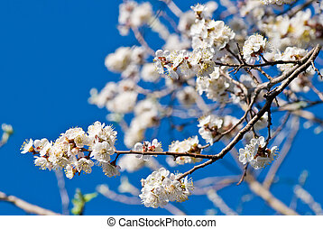 cherry flowers - white cherry blossoms against the blue sky