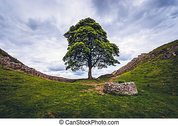 Sycamore Gap on Hadrian's Wall in Northumberland. A small...