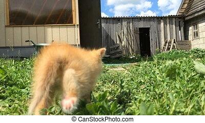 Little red kitten exploring the farm