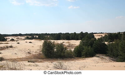 Coniferous trees in the desert. Horizontal pan