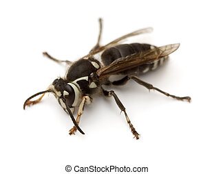 Hornet - Bald-Faced Hornet Dolichovespula maculata isolated...