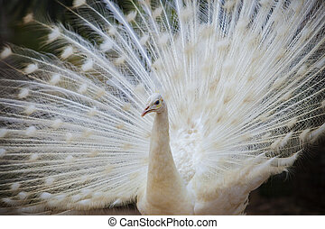 white male indian peacock with beautiful fan tail plumage feather showing for breeding to female