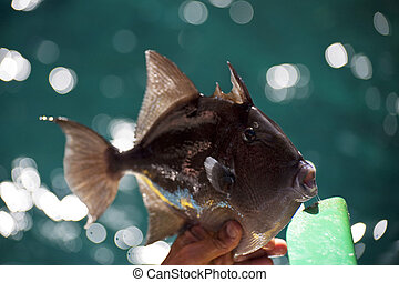 Triggerfish - scene in portugal / island of madeira