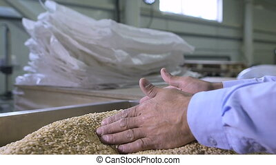 Harvest, close up of farmer's hands holding wheat grains....