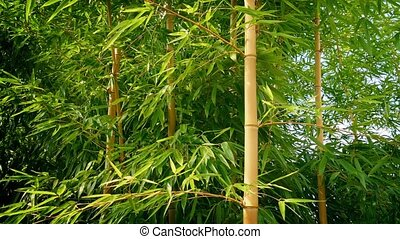 Bamboo In Breeze On Sunny Day - Dense bamboo plants moving...
