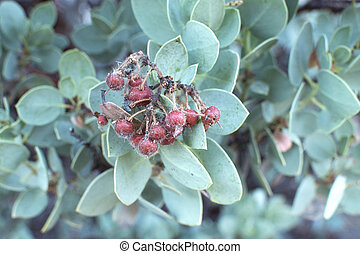 Big berry manzanita fruit - Closeup of edible sticky red...