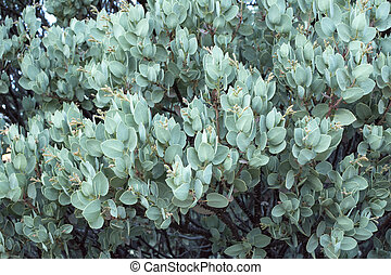 Big berry manzanita tree with buds - Gray green branches of...