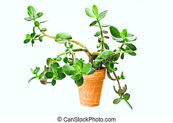 Succulent Tree - Succulent Crassula Tree With Water Drops in...
