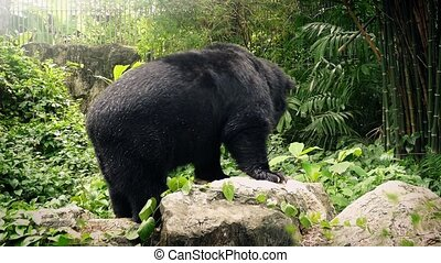 Bear In Zoo Moving Around - Black bear in enclosure moving...
