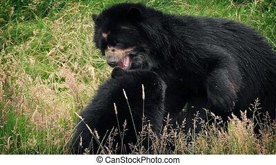 Bears Play Fighting In Wild Meadow - Two black bears wrestle...