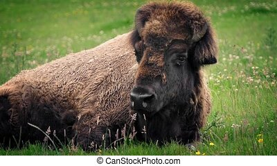Bison Resting In Wild Meadow - Large adult bison lying down...
