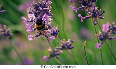 Bumblebee On Pink Flowers - Bumblebee on lavender flowers...
