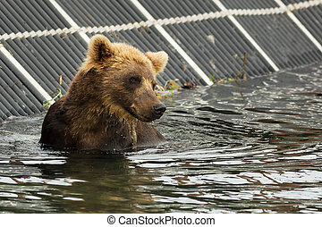 Brown bear waiting for prey in the Kurile Lake Southern...