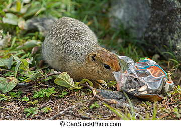 Arctic ground squirrel climbs in package with seeds....