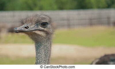 Close up shot of ostriche at the ostrich farm in Russia