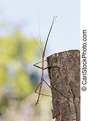 Common or Northern Walking Stick - Common Walking Stick...