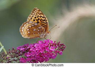 Great-spangled Fritillary on Butterfly Bush - Great-spangled...