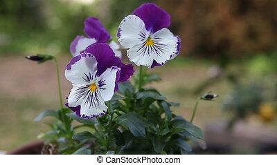 purple and white pansies - pale pansies with vivid markings...