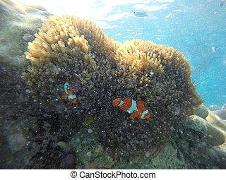 nemo fish with anemone, animal
