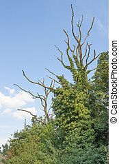 overgrown dead trees - dead trees overgrown with climbing...