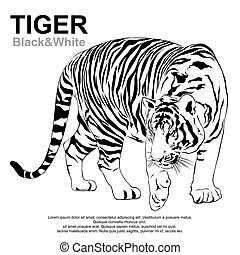 Tigers stare victim - Tiger walking, black and white, vector...