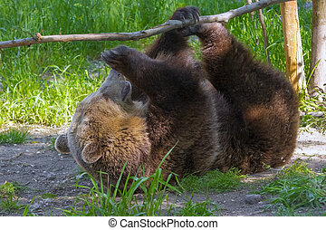 Brown Bear Play - European brown bear (Ursus arctos arctos)...