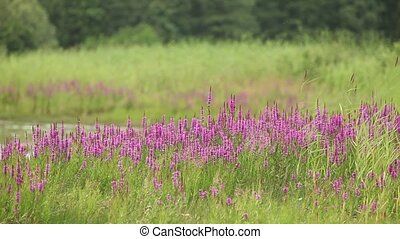 flower purple grass crybaby