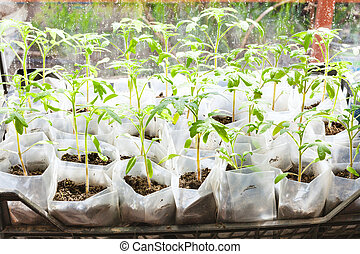 green shoots of tomato plant in plastic boxes in glasshouse