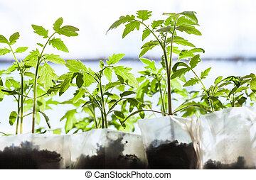 seedlings of tomato plant in plastic containers in...