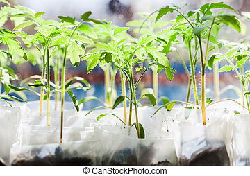 shoots of tomato plant in plastic containers in glasshouse