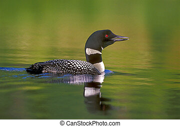 Loon Reflection - Common Loon swimming in lake, calling.