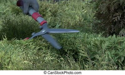 Garden worker trims bushes with secateurs