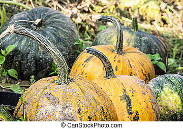 Close up photo of ripe pumpkins in the field. Autumn...