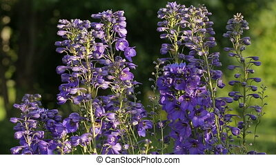 Angelonia plant sways in the wind