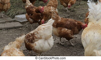 Roosters and hens on village farm
