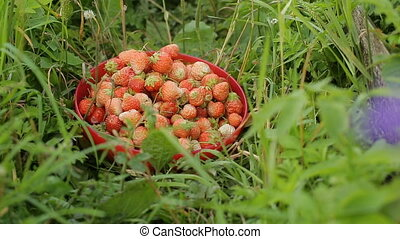 Lots of ripe strawberries on the grass