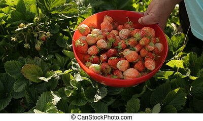 Gathering of strawberries manually. Middle-aged woman...