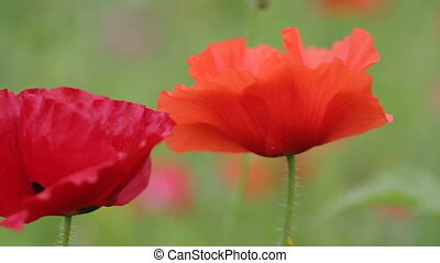 Red poppies in the garden close-up