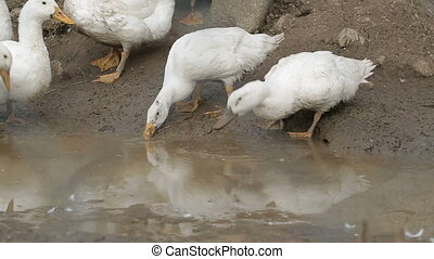 White Duck drinking water