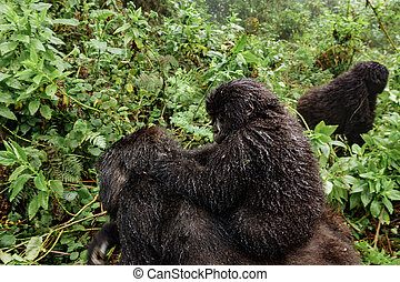 A female mountain gorilla with a baby on top - Profile of...