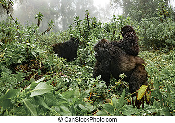 A female mountain gorilla with a baby in Rwanda - Profile of...