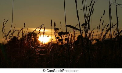 grass silhouette swaying in the breeze at sunset - focusing...