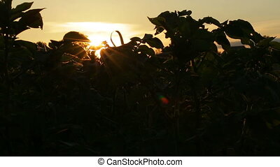 Potato Haulm Tops on sunset background