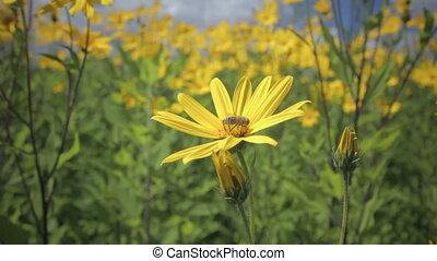 Jerusalem artichoke yellow flower growing in the field....
