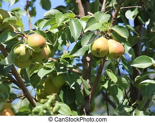 Ripe pears are hanging in the foliage - Ripe pears are...