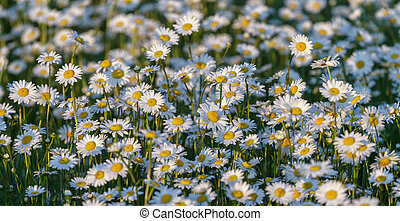 Wild chamomile flowers on a field on a sunny day.