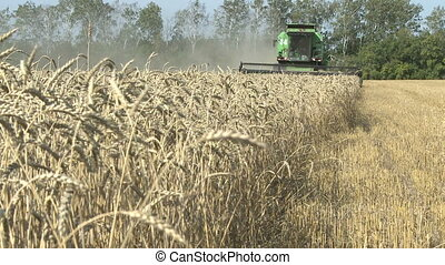 harvesting combine in the summer field of ripe wheat -...
