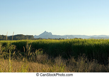Sugar Cane Farm - A sugar cane farm, with the imposing Mount...